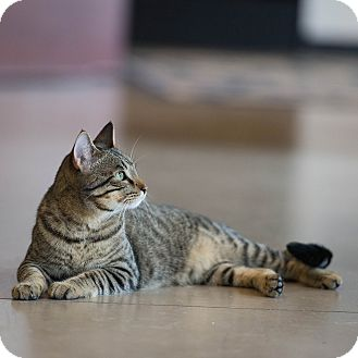 Domestic Shorthair Cat for adoption in Plano, Texas - Micky