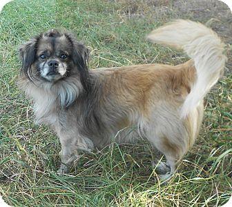 Pekingese Mix Dog for adoption in Huntsville, Alabama - Punky