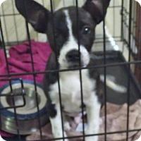 Adopt A Pet :: Dozer - Woodbridge, VA