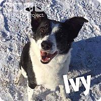 Adopt A Pet :: Ivy - Regina, SK