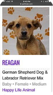 German Shepherd Dog/Labrador Retriever Mix Puppy for adoption in Patterson, New York - Reagan