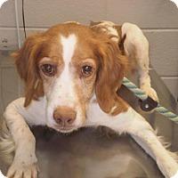 Adopt A Pet :: TN/Maddie - Blowing Rock, NC