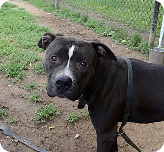 American Staffordshire Terrier/American Pit Bull Terrier Mix Dog for adoption in Yonkers, New York - Louie