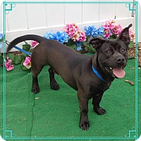 Adopt A Pet :: DIXON - Marietta, GA