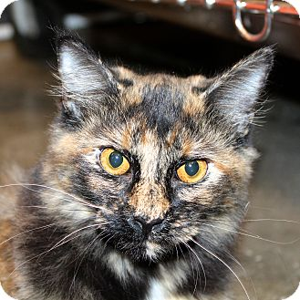 Domestic Mediumhair Cat for adoption in Greenville, South Carolina - Sassy