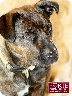 Boxer/Dutch Shepherd Mix Dog for adoption in Marina del Rey, California - Boots