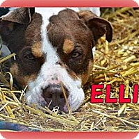 Adopt A Pet :: Ellie - Middletown, NY