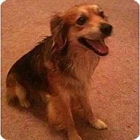 Adopt A Pet :: Baxter - Arlington, TX
