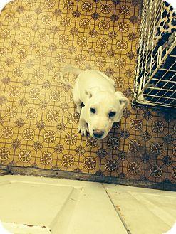 Shar Pei/Greyhound Mix Puppy for adoption in Lubbock, Texas - Powder