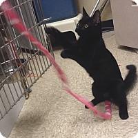 Adopt A Pet :: Chapman - Colmar, PA