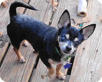 Chihuahua Dog for adoption in Festus, Missouri - #30 Munchkin in Missouri