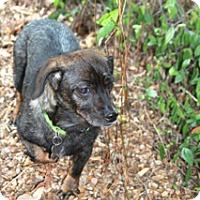 Adopt A Pet :: Delphinea - Meet Her!! - Norwalk, CT