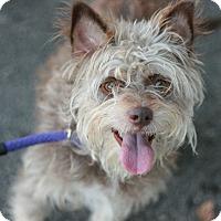 Adopt A Pet :: Maxy - Canoga Park, CA