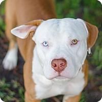 Adopt A Pet :: Bull - Jupiter, FL