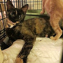 Photo 1 - American Shorthair Cat for adoption in Long Beach, California - Luka