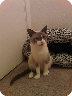 Snowshoe Cat for adoption in Alhambra, California - Sophie