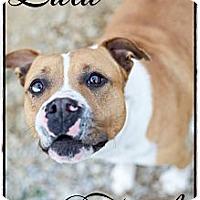Adopt A Pet :: Lulu (Fee $200) - Hagerstown, MD