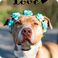 American Staffordshire Terrier Mix Dog for adoption in Taunton, Massachusetts - BELLA