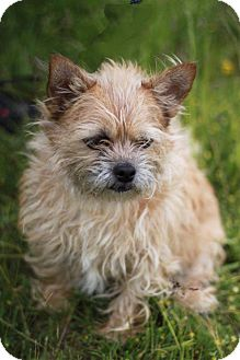 Cairn Terrier Mix Dog for adoption in South Haven, Michigan - Maggie