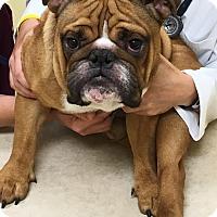 Adopt A Pet :: Bruiser - Park Ridge, IL