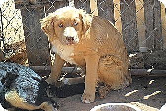 Golden Retriever/Border Collie Mix Dog for adoption in Anton, Texas - Chedder