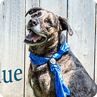 Adopt A Pet :: Blue - Hamilton, MT