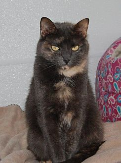 Domestic Shorthair Cat for adoption in Brainardsville, New York - Bella