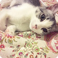 Domestic Shorthair Kitten for adoption in Los Angeles, California - Fitzgerald