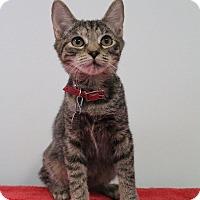 Domestic Shorthair Kitten for adoption in Bradenton, Florida - Dinah