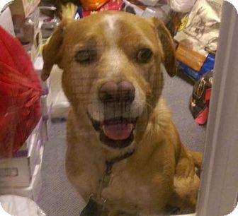 Labrador Retriever Mix Dog for adoption in Columbus, Ohio - Sam