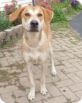 Redtick Coonhound Mix Dog for adoption in West Chicago, Illinois - Lada