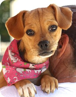 Dachshund/Jack Russell Terrier Mix Puppy for adoption in West Grove, Pennsylvania - Coke