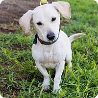 Adopt A Pet :: Gosse - San Diego, CA