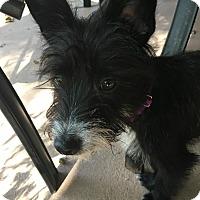 Adopt A Pet :: Lucy Lou - San Antonio, TX