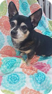 Chihuahua Mix Dog for adoption in Fairmont, West Virginia - Buddy