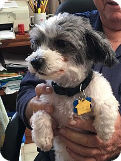 Poodle (Toy or Tea Cup)/Shih Tzu Mix Dog for adoption in Nuevo, California - Sandy