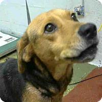 Beagle Mix Dog for adoption in Atlanta, Georgia - JOANIE