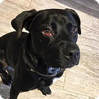 Labrador Retriever Mix Dog for adoption in Austin, Texas - Blanket
