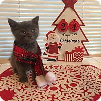 Russian Blue Kitten for adoption in San Jose, California - Pawsy