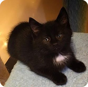 Domestic Shorthair Kitten for adoption in Gainesville, Florida - Billy Bob