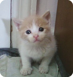 American Shorthair Kitten for adoption in Whitestone, New York - Pumkin