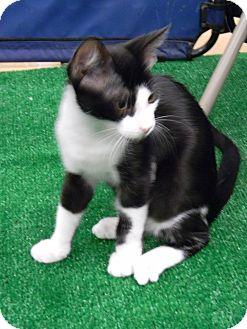 Domestic Shorthair Kitten for adoption in Bonita Springs, Florida - Frank