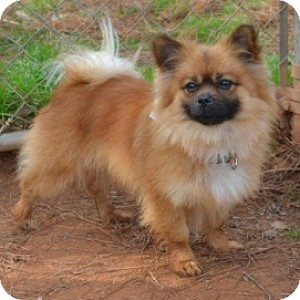 Pomeranian Mix Dog for adoption in Athens, Georgia - Hobson