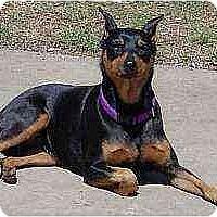 Adopt A Pet :: Sadie - Florissant, MO
