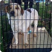 Adopt A Pet :: Felix - Fowler, CA
