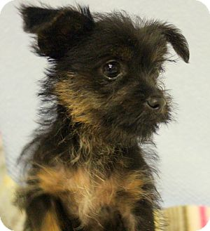 Yorkie Rescue In Texas