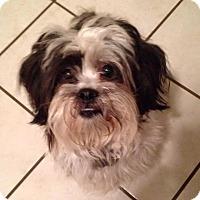 Adopt A Pet :: Ringo - LEXINGTON, KY