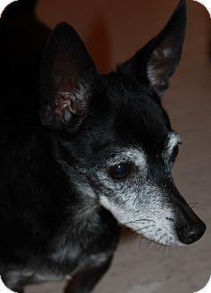 Rat Terrier Mix Dog for adoption in Buckeye, Arizona - Scampi