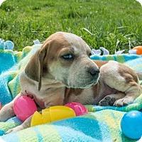 Adopt A Pet :: Sneezy $250 - Seneca, SC