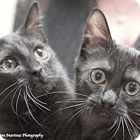 Domestic Shorthair Kitten for adoption in Homewood, Alabama - Smokey and Bandit